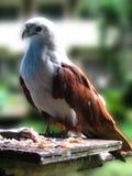 Eagle. Eating fish royalty free stock image