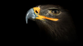 Eagle. Picture of eagle on a black background royalty free stock photos