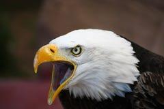 Eagle Imagenes de archivo