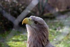 Eagle Fotos de archivo libres de regalías
