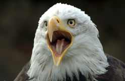 Eagle. White-tailed eagle Stock Photo