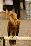 The eagle. Looking aside from, Moskow, Russia Royalty Free Stock Photo