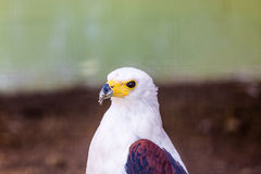 Eagle Royalty-vrije Stock Afbeeldingen