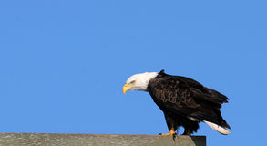 Eagle. American bald eagle balancing on a board royalty free stock photo