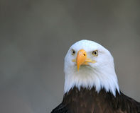 Eagle. Headshot of an American Bald Eagle Royalty Free Stock Photography