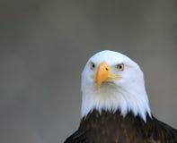 Eagle. Headshot of an American Bald Eagle royalty free stock photography