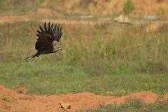 Eagle image stock
