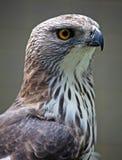 Eagle 002 Zdjęcie Royalty Free