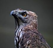 Eagle 003 Immagine Stock Libera da Diritti
