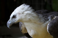 Eagle. Close-up view of a majestic sea-eagle Royalty Free Stock Photography