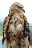 Eagle Stock Foto