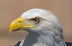 Eagle. Head shot of a Bald Eagle stock photos