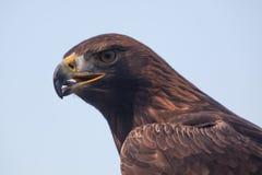 4 eagle Стоковая Фотография