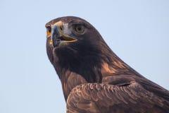 4 eagle Стоковые Фотографии RF