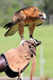 Eagle. An eagle standing on a man's leather glove used for training purposes Royalty Free Stock Photos