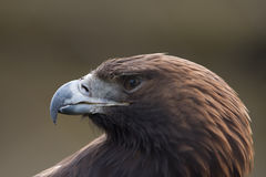 Eagle. Portrait of a gorgeous golden eagle Stock Photography