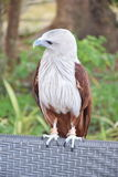 Eagle stock afbeelding