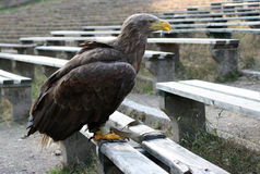 Eagle 99. Eagle birds animals portrait predator Royalty Free Stock Photography