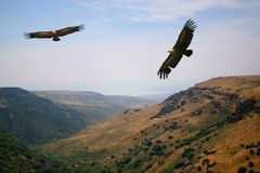 Eagle above the valley. Two eagles flying around the hills Royalty Free Stock Image