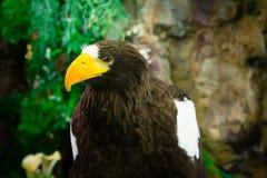 Eagle-Abschluss oben Stockfotografie