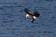 Eagle adjusts fish in claws. Royalty Free Stock Photography