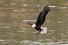Eagle adjusts fish. Royalty Free Stock Image