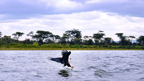 Eagle in africa. On river Stock Image