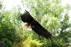 Eagle at afternoon Royalty Free Stock Photo