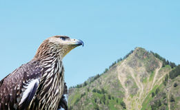 Eagle against the background of a high mountain. In profile royalty free stock photos