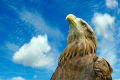 Eagle against the sky Stock Photos