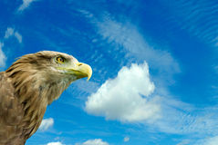 Eagle against the sky Royalty Free Stock Photo