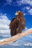 Eagle against sky Stock Image
