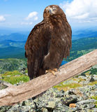 Eagle   against wildness background. Eagle on on wood trunk  against wildness background Royalty Free Stock Photography