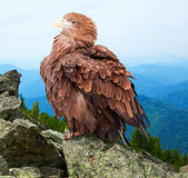 Eagle against wildness background. Eagle on rock against wildness background Stock Image