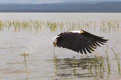 Eagle agarra peixes da superfície do lago Baringo Kenya, África imagens de stock royalty free