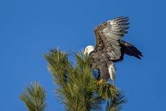 Eagle agita le ali in albero Fotografia Stock