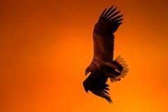 Eagle al tramonto immagine stock