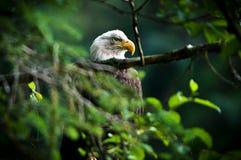 EAGLE IN ALASKA Stockfotografie