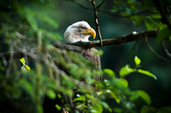 EAGLE IN ALASKA Stock Photography