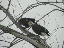 Eagle in albero Immagini Stock