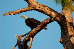 Eagle on Alert Royalty Free Stock Photos