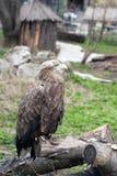 Eagle allo zoo Fotografia Stock Libera da Diritti