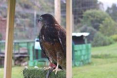 Eagle andino Immagini Stock