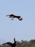 Eagle-Angriff Lizenzfreie Stockbilder