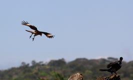 Eagle-Angriff lizenzfreies stockbild