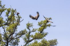 Eagle approaching big tree in Kruger Park royalty free stock image