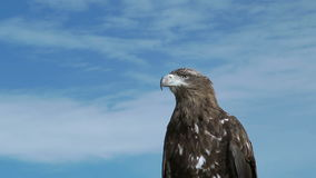 Eagle Aquila Chrysaetos d'or avec le ciel bleu banque de vidéos