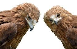 Eagle Aquila clanga Stock Photo