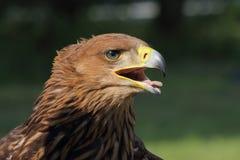 Eagle Aquila heliaca Royalty Free Stock Image