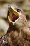 Eagle - Aquila nipalensis Stock Images